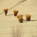 Women in Afghanistan wearing their harvest. Muzafar Ali/ UN Photos