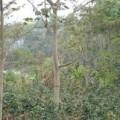 Waldgärten in San Gil: Kochbananen und Kaffee wachsen hier ohne Mineraldüngung und Pestizide. Foto: Haiko Pieplow